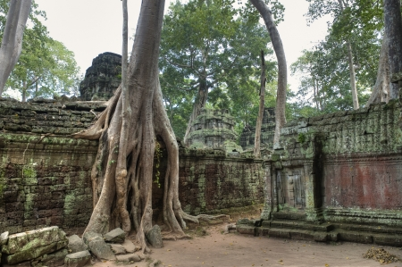 strangler: Huge Strangler Figs Engulf Ancient Ruins of Ta Prohm built in 12th Century, a UNESCO World Heritage Site