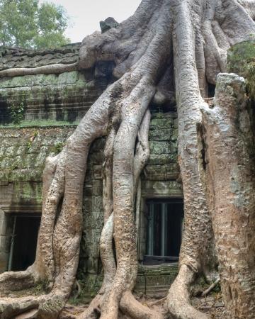 strangler: Close-up of Strangler Fig Trees engulfing ancient ruins of Ta Prohm Stock Photo