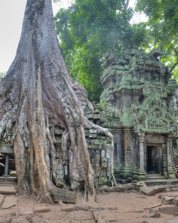 Strangler Fig Trees engulfing ancient ruins of Ta Prohm