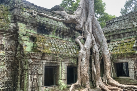 Strangler Fig Trees engulfing ancient ruins of Ta Prohm  photo