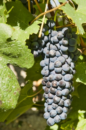 red grape bunches along the Rhone River to be used for Cote Rotie wine