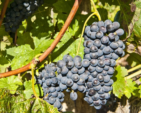 rhone: red grape bunches along the Rhone River to be used for Cote Rotie wine