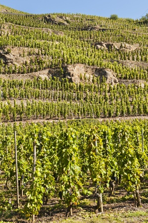 rhone: Vineyards are Terraced in Ampuis Stock Photo