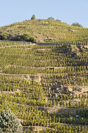 cote: Harvesting on the Terraces in a Vineyard at Ampuis France