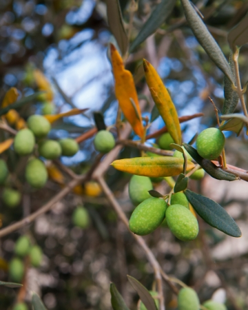 green Olives on a tree at Castiglione del Lago Stock Photo
