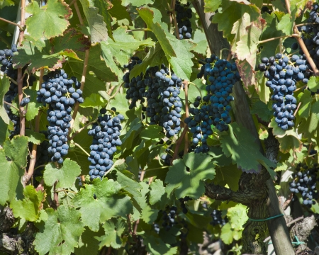 rhone: Red WIne Grapes in the Cote Rotie region at Ampuis France  Stock Photo