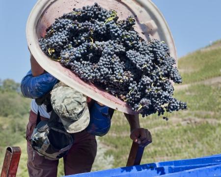 aratás: Betakarítás a szőlő Stock fotó