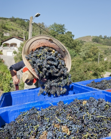 worker dumps large container of grapes into bin for transport to winery
