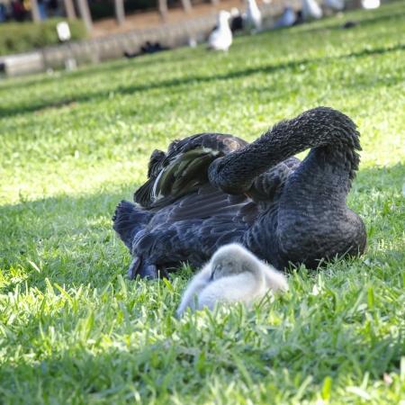 signet: Cisne Negro y el Sello en Orlando Foto de archivo