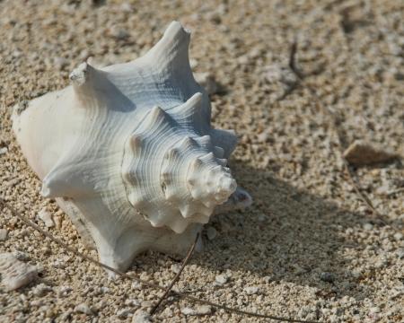 sun bleached conch shell on beach Stock Photo