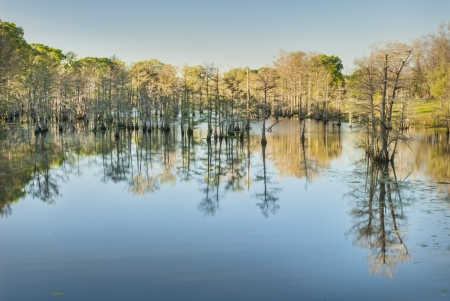 Bald Cypress Reflections in Bayou