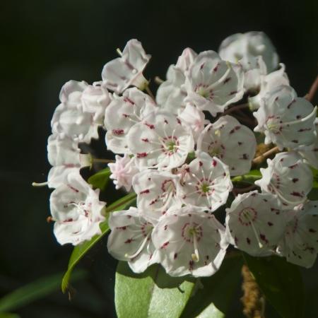 Sweet Bay Flowers