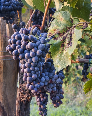 Red Wine Grapes on Vines on Vine with Morning Dew