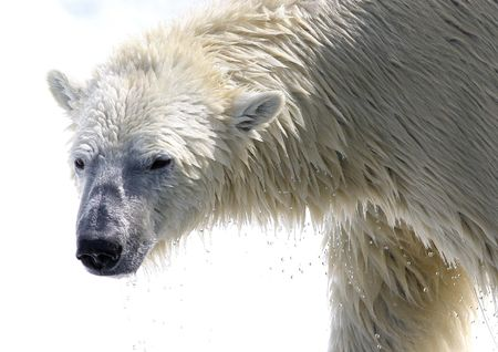 polar bear with water drops