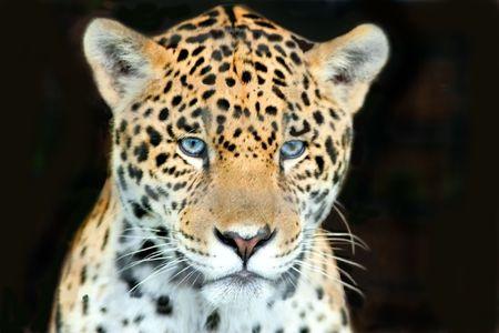 ジャガーのヘッド ショット