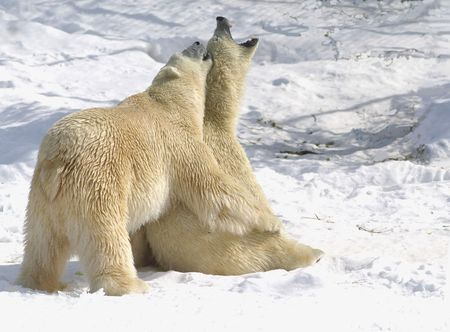 artic: the male bear had been trying to mate with the female forover 45 minutes. the female wasnt interested suddenly she sat down and yelped. then the male give her a bear hug