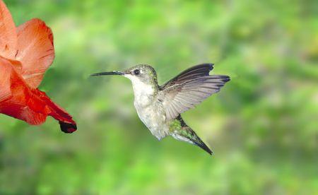 ruby throated humming bird 写真素材