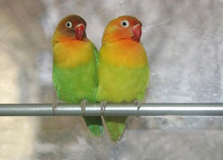 love birds in kitchen 版權商用圖片