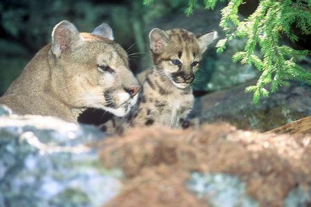 mother cougar and kit 写真素材