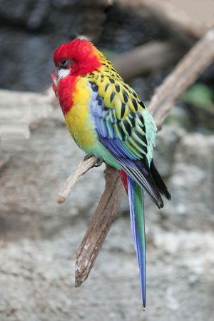 eastern rosella [australian bird]