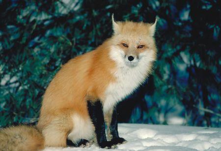 red fox facing sun