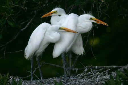 egret: great white egret chicks Stock Photo