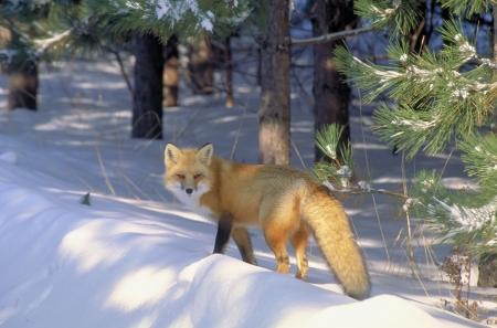 volpe rossa: volpe rossa nella luce dorata