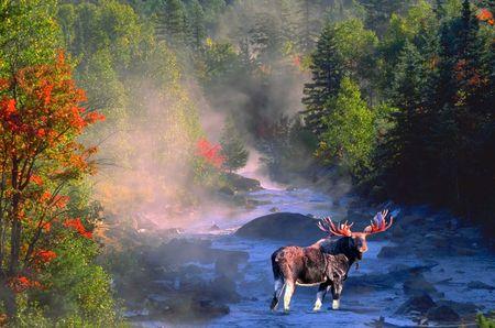 bull moose in fall colours 写真素材