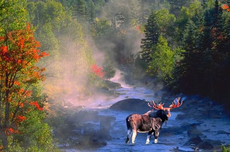 bull moose in fall colours Imagens