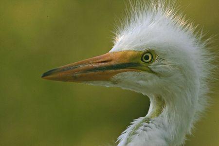 great white heron chick Фото со стока
