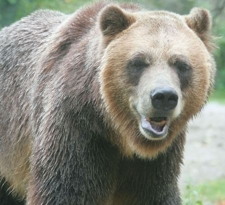 laughing grizzly Фото со стока