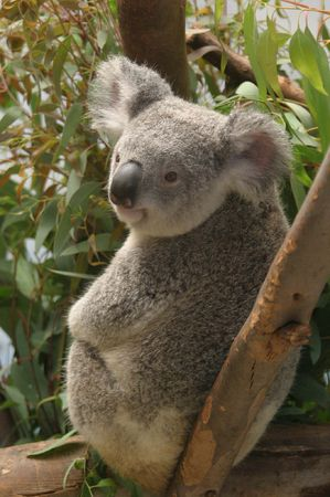 relaxed koalo