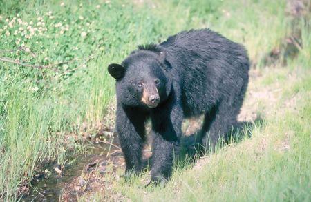 black bear: orso nero 4