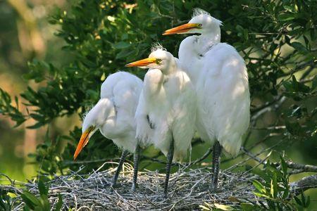 great egret chicks Фото со стока