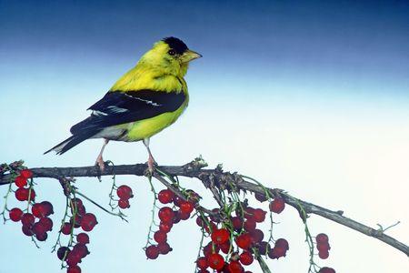 male goldfinch 写真素材