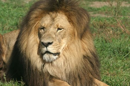 lion king 版權商用圖片