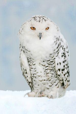 snowy owl 写真素材