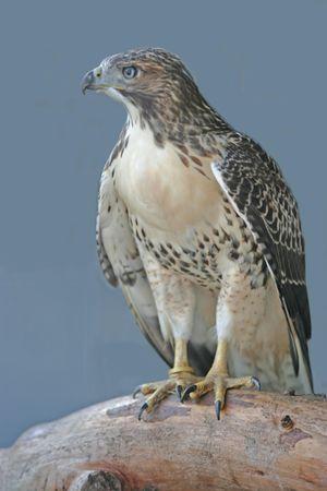 ferruginous hawk Фото со стока