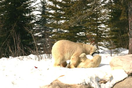 mating polar bears Stock Photo - 649014