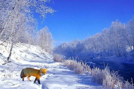 rode vos in de winter Stockfoto