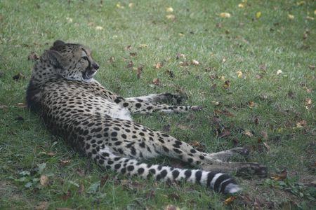 relaxing cheetah Reklamní fotografie