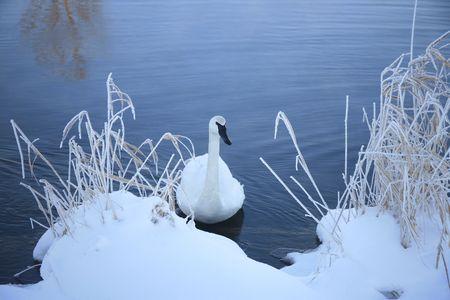 trumpeter swan: trumpeter swan at -25c Stock Photo