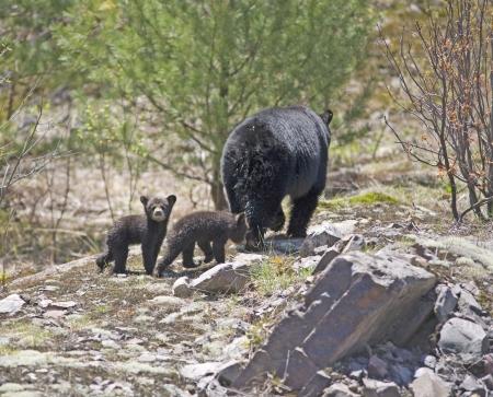 black: black bear cubs