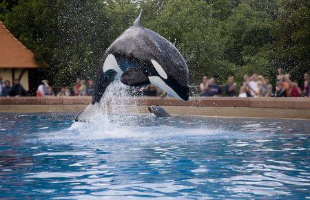 breaching whale photo