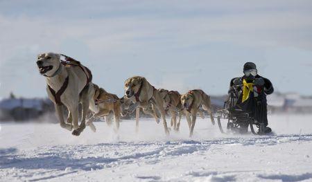 sled dog action