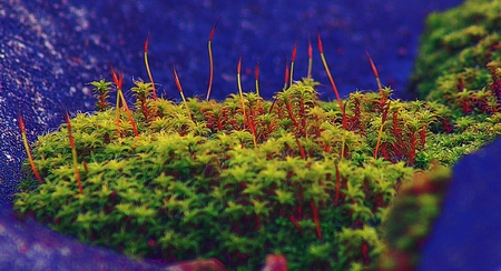 Macro of bright rain drops on young red moss sporophytes Bryophyte on forest floor