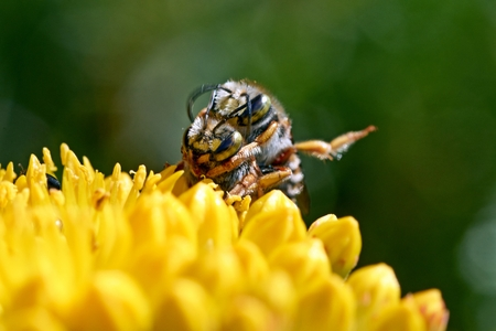 Bee Anthophila sits to rest on a yellow flower Stockfoto