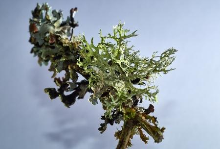 Thallus species of lichen Xanthoria parietina, Parmelia sulcata, Physcia tenella on a branch close-up, in the autumn 写真素材