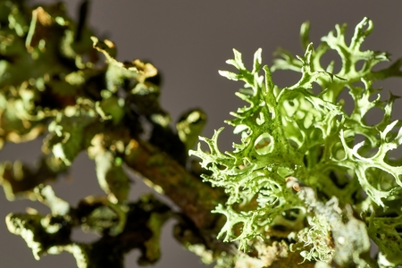 Thallus species of lichen Xanthoria parietina, Parmelia sulcata, Physcia tenella on a branch close-up, in the autumn.