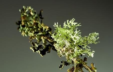 Thallus species of lichen Xanthoria parietina, Parmelia sulcata, Physcia tenella on a branch close-up, in the autumn.